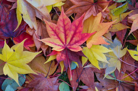 秋の落ち葉の写真素材 [FYI03405550]