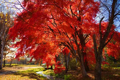 嵐山スキー場の紅葉の写真素材 [FYI03405556]