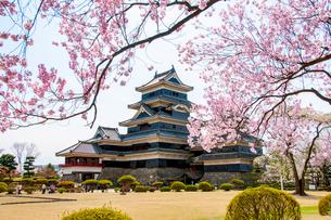 満開の桜と松本城の写真素材 [FYI03405871]