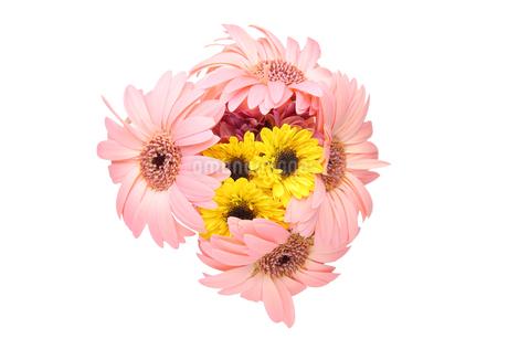 ガーベラと菊の花束の写真素材 [FYI03406031]