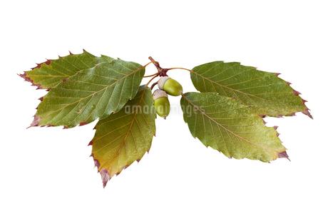 どんぐりの実の付いたコナラの枝の写真素材 [FYI03406195]