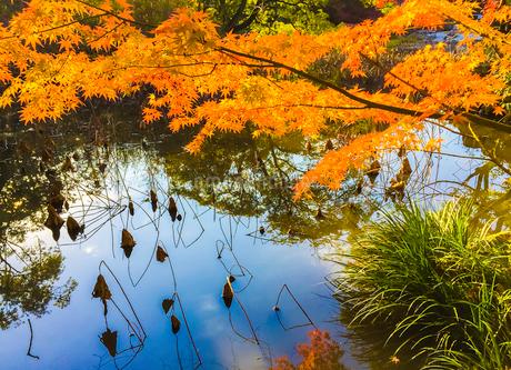 勧修寺の氷室池のオレンジ色のもみじの写真素材 [FYI03406205]