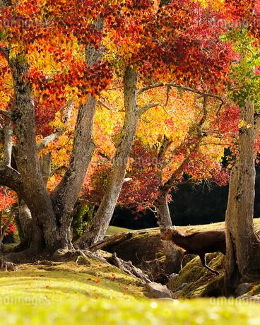 飛火野 日本 奈良県 奈良市の写真素材 [FYI03406259]