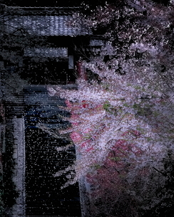 桜吹雪 今津町 日本 滋賀県 高島市の写真素材 [FYI03406288]