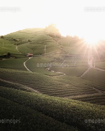 茶畑 日本 京都府 和束町の写真素材 [FYI03406292]