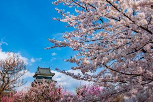 青空に咲く満開の桜と松本城の写真素材 [FYI03406754]