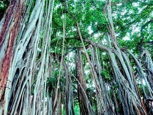 マングローブの森の写真素材 [FYI03406857]
