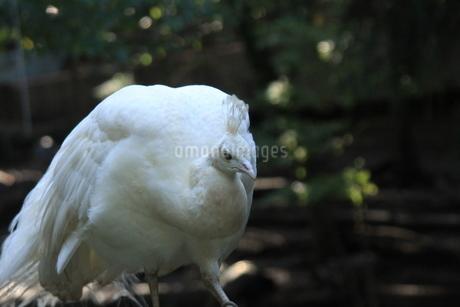 白孔雀の写真素材 [FYI03407128]