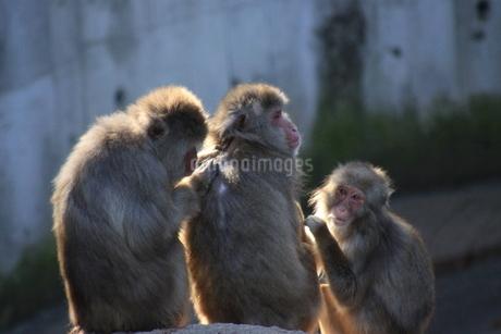 3匹の猿の写真素材 [FYI03407136]