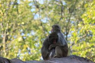 2匹の猿の写真素材 [FYI03407140]