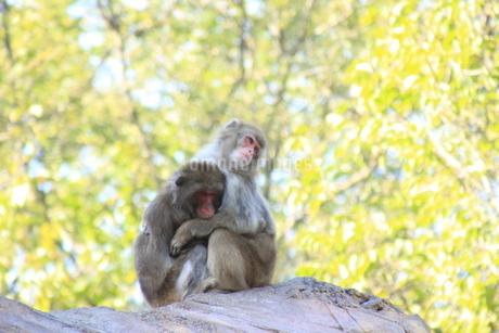 寄り添う猿の写真素材 [FYI03407141]