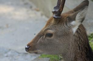 物思いにふける鹿の写真素材 [FYI03407142]