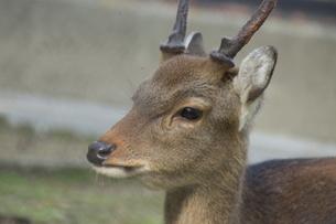 一点を見つめる鹿の写真素材 [FYI03407143]
