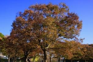 大カエデの紅葉の写真素材 [FYI03407252]