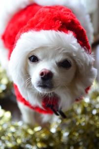 犬 チワワ サンタクロース サンタさん クリスマスの写真素材 [FYI03407315]