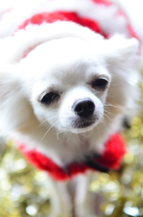 犬 チワワ サンタクロース サンタさん クリスマスの写真素材 [FYI03407316]