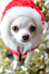 犬 チワワ サンタクロース サンタさん クリスマスの写真素材 [FYI03407318]