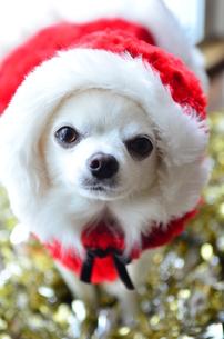 犬 チワワ サンタクロース サンタさん クリスマスの写真素材 [FYI03407319]
