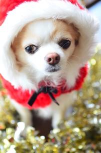 犬 チワワ サンタクロース サンタさん クリスマスの写真素材 [FYI03407320]