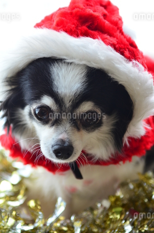 犬 チワワ サンタクロース サンタさん クリスマスの写真素材 [FYI03407321]