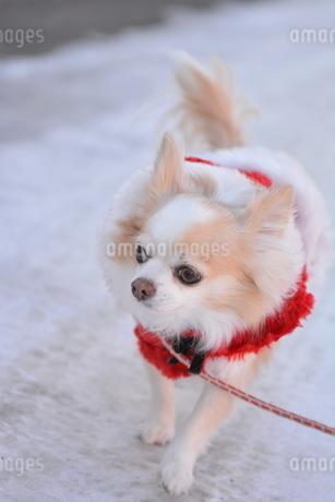 犬 チワワ サンタクロース クリスマス 冬 散歩の写真素材 [FYI03407322]