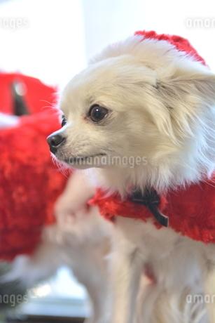 犬 チワワ クリスマス サンタクロース サンタさんの写真素材 [FYI03407323]