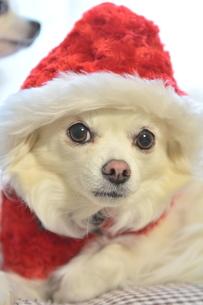 犬 チワワ サンタクロース サンタさん クリスマスの写真素材 [FYI03407324]
