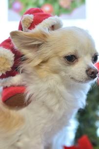 犬 チワワ サンタクロース サンタさん クリスマスの写真素材 [FYI03407327]
