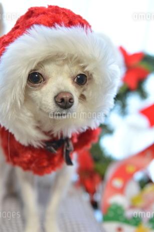 犬 チワワ サンタクロース サンタさん クリスマスの写真素材 [FYI03407329]