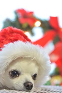 犬 チワワ サンタクロース サンタさん クリスマスの写真素材 [FYI03407332]