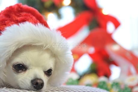 犬 チワワ サンタクロース サンタさん クリスマスの写真素材 [FYI03407334]