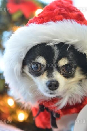 犬 チワワ クリスマス サンタクロース サンタさんの写真素材 [FYI03407335]