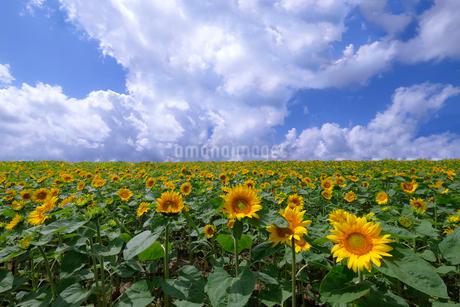 大雪山国立公園 日本 北海道 上川郡の写真素材 [FYI03407356]