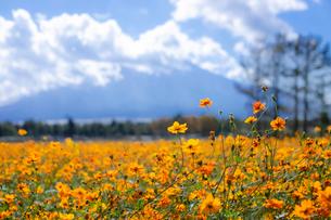 花の都公園 日本 山梨県 山中湖村の写真素材 [FYI03407390]