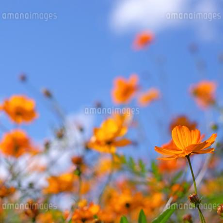 花の都公園 日本 山梨県 山中湖村の写真素材 [FYI03407391]