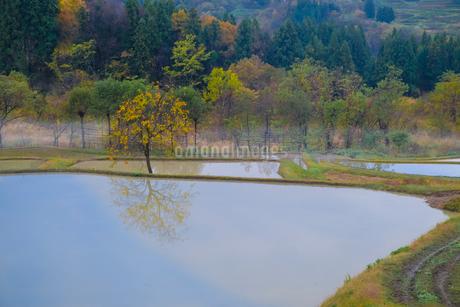 棚田でみつけた柿の木 日本 新潟県 上越市の写真素材 [FYI03407427]