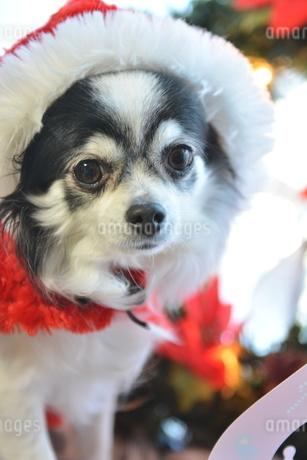 犬 チワワ サンタクロース サンタさん クリスマスの写真素材 [FYI03407429]