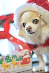 犬 チワワ サンタクロース サンタさん クリスマスの写真素材 [FYI03407430]