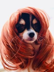 犬 チワワ ロングヘア かつらの写真素材 [FYI03407438]