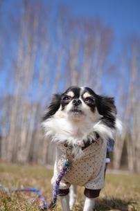 犬 チワワ 白樺 青空の写真素材 [FYI03407439]