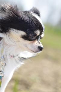 犬 チワワの写真素材 [FYI03407441]