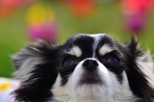 犬 チワワ 花畑 見上げるの写真素材 [FYI03407442]