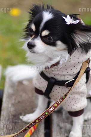 犬 チワワ 桜の花びらの写真素材 [FYI03407443]