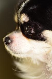 犬 チワワ 横顔の写真素材 [FYI03407444]