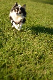犬 チワワ 走る犬 芝生の写真素材 [FYI03407446]