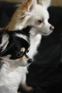 犬 チワワ 白と黒 視線の先の写真素材 [FYI03407449]