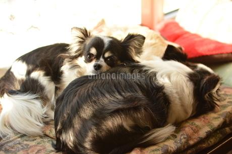 犬 チワワ 重なる 親子の写真素材 [FYI03407451]
