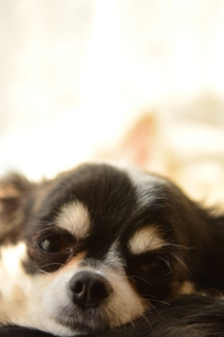 犬 チワワの写真素材 [FYI03407453]