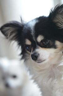 犬 チワワ 白黒の写真素材 [FYI03407455]