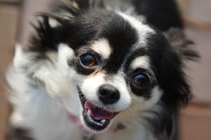 犬 チワワ 笑顔 笑うの写真素材 [FYI03407456]